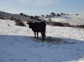 Sardinian Cow Silhouette
