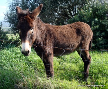 Soft donkeys in Sardinia