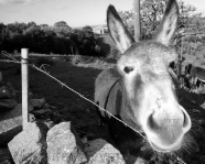 Friendly Sardinian Donkeys