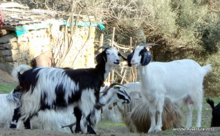 Goats in love