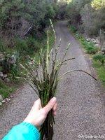 Hunting Wild Asparagus at Sardinia,Italy